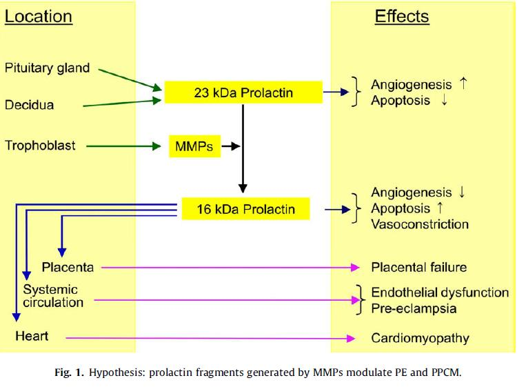 Prolactin fragmentation by trophoblastic matrix metalloproteinases as a possible contributor to