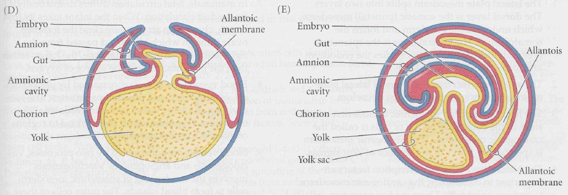 2-day embryo
