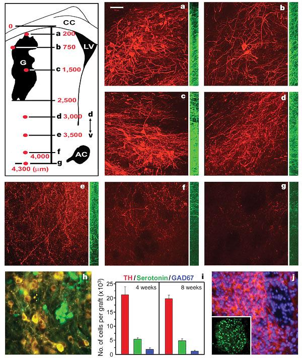 ES to Dopamine neurons rescue an animal model of Parkinson s Disease Nurr-1 transfected ES cells generated midbrain CNS