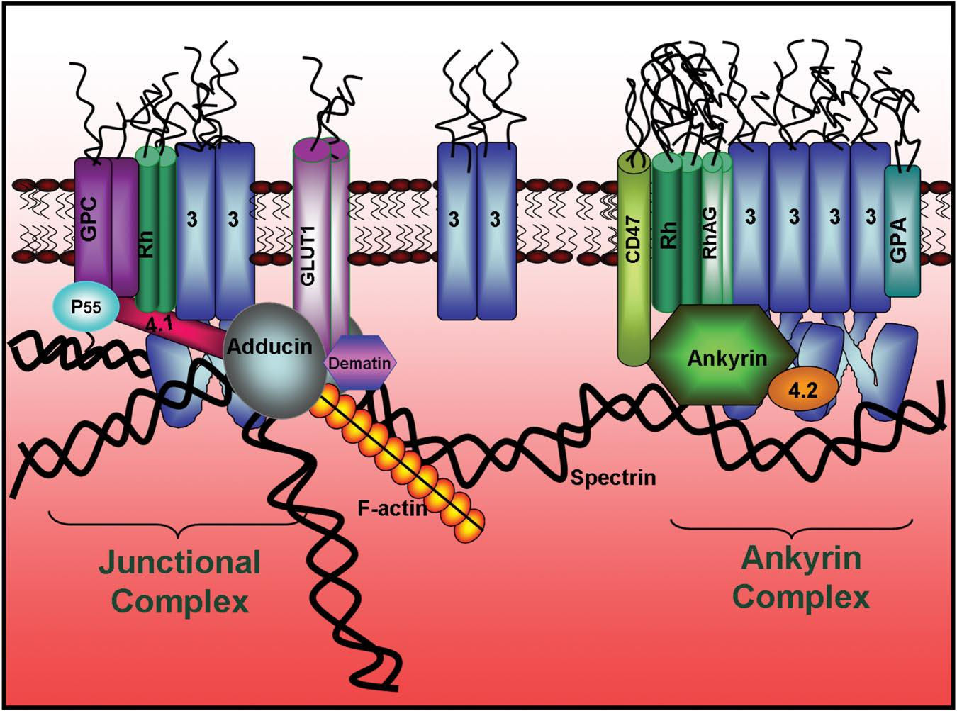 The Band 3- Adducin Spectrin bridge 50% of Sk-attached B3 is adducin-associated Adducin (actin capping protein) free Band