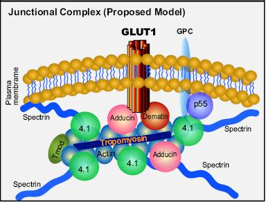 principal functions of GLUT1: (1) to facilitate transport of glucose (2)