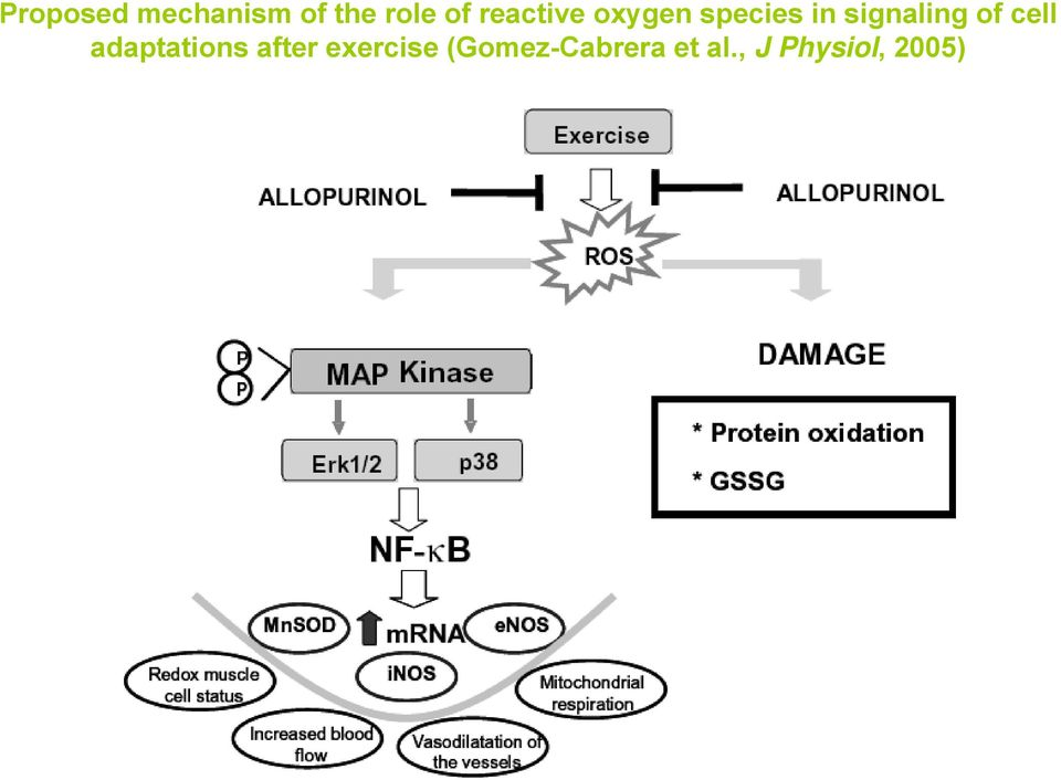 of cell adaptations after exercise