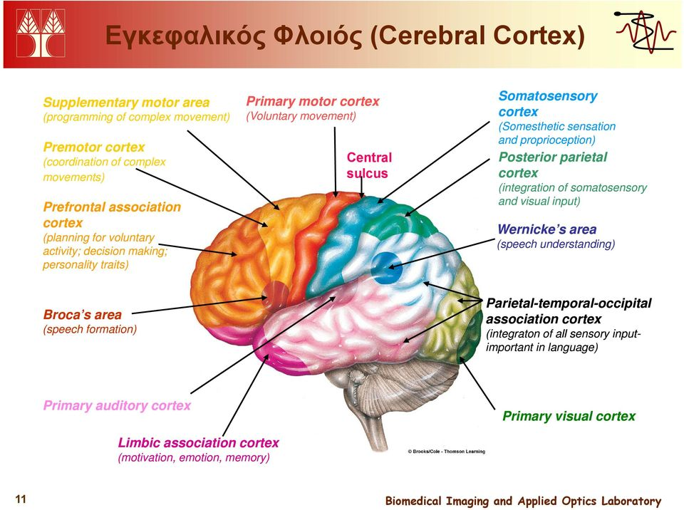proprioception) Posterior parietal cortex (integration of somatosensory and visual input) Wernicke s area (speech understanding) Broca s sarea (speech formation)