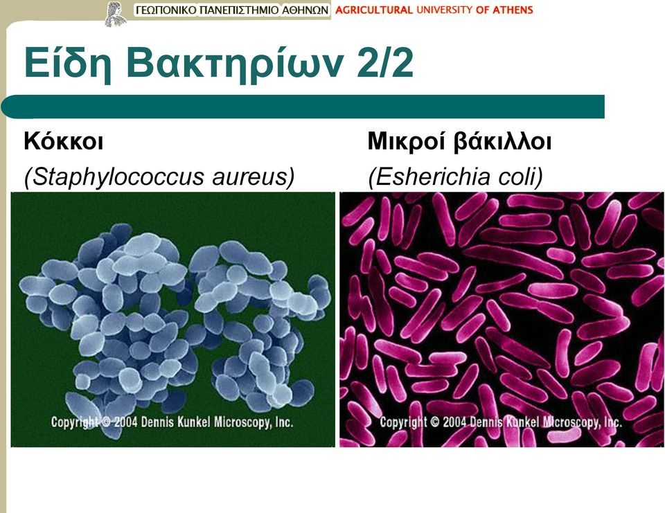 (Staphylococcus