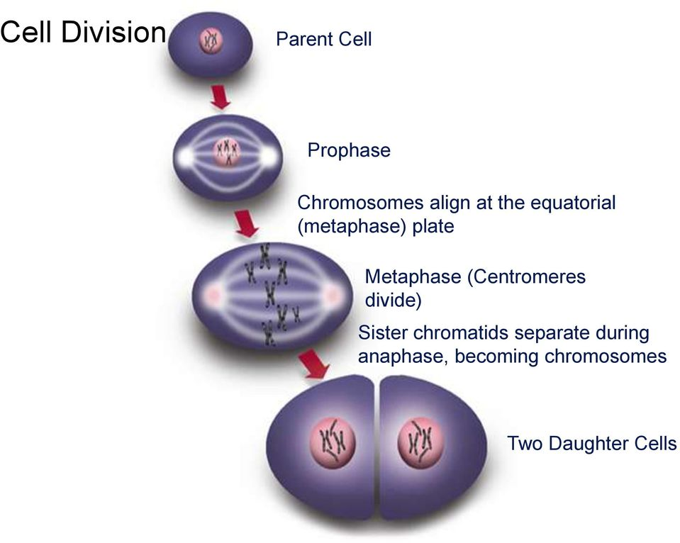 Metaphase (Centromeres divide) Sister chromatids