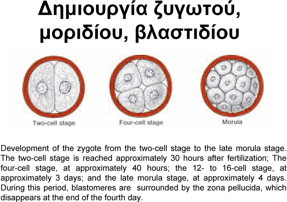 The two-cell stage is reached approximately 30 hours after fertilization; The four-cell stage, at approximately 40