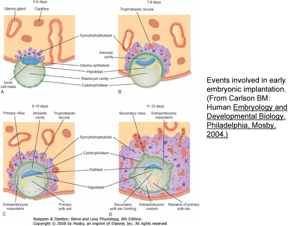 (From Carlson BM: Human Embryology