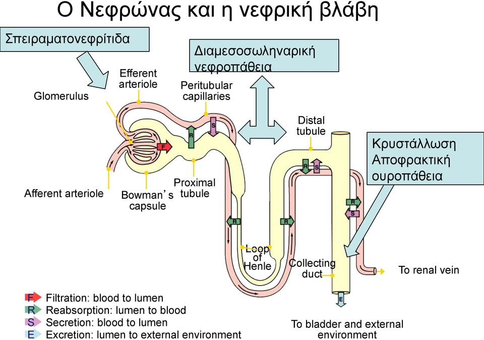 Αποφρακτική ουροπάθεια Loop of Henle Collecting duct To renal vein F R S E Filtration: blood to lumen