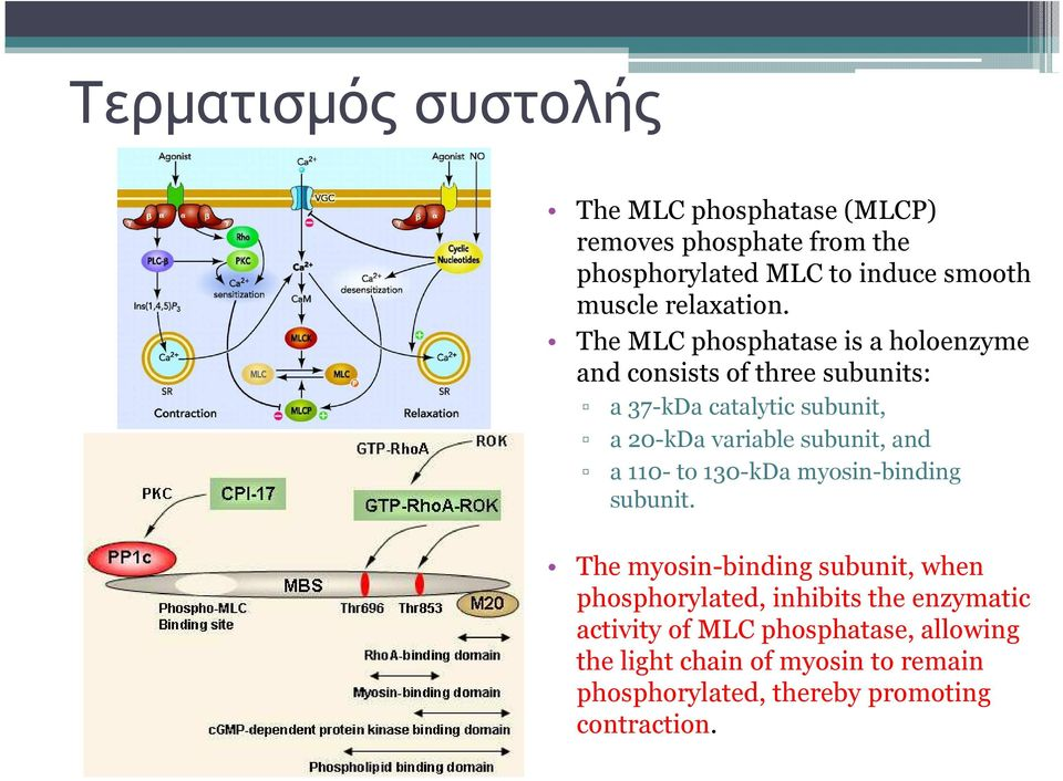 The MLC phosphatase is a holoenzyme and consistsof three subunits: a 37-kDa catalytic subunit, a 20-kDavariable subunit,