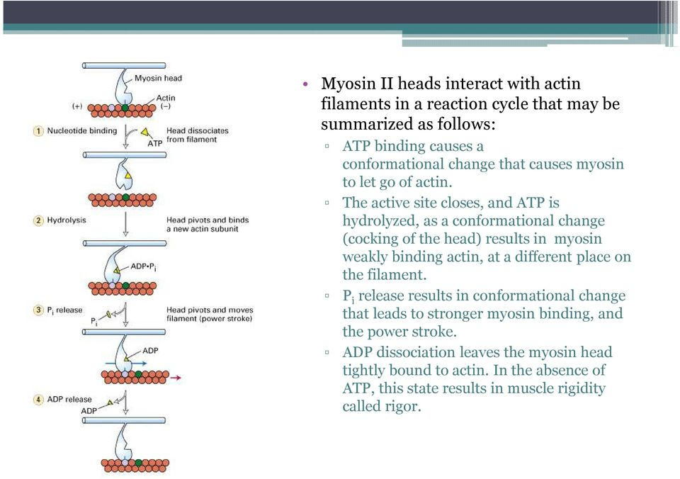 The active site closes, andatp is hydrolyzed, as a conformational change (cocking of the head) results in myosin weakly binding actin, at a