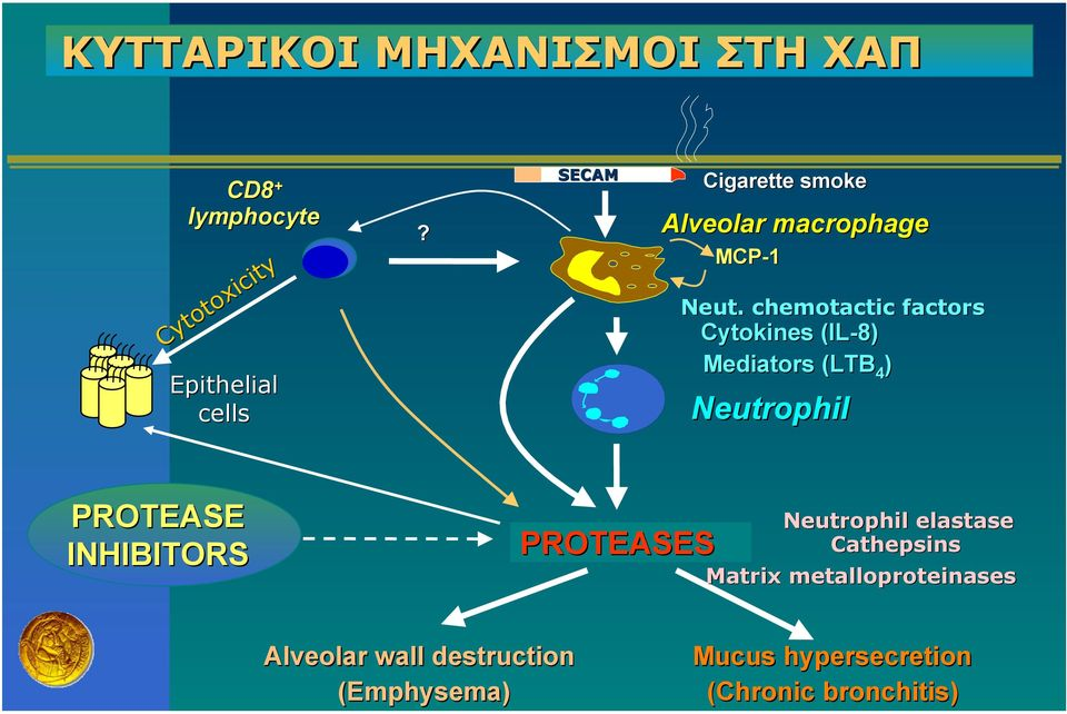 chemotactic factors Cytokines (IL-8) Mediators (LTB 4 ) Neutrophil PROTEASE INHIBITORS