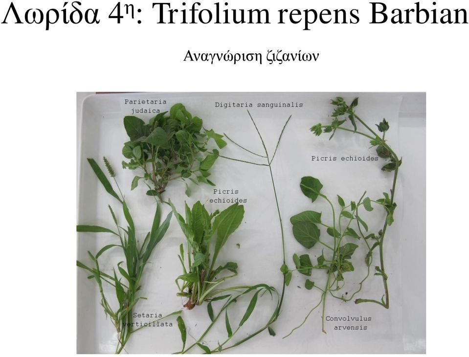 repens Barbian