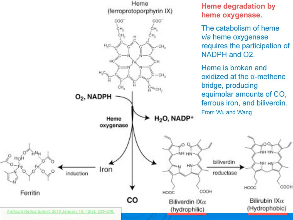 Heme is broken and oxidized at the α-methene bridge, producing equimolar amounts of