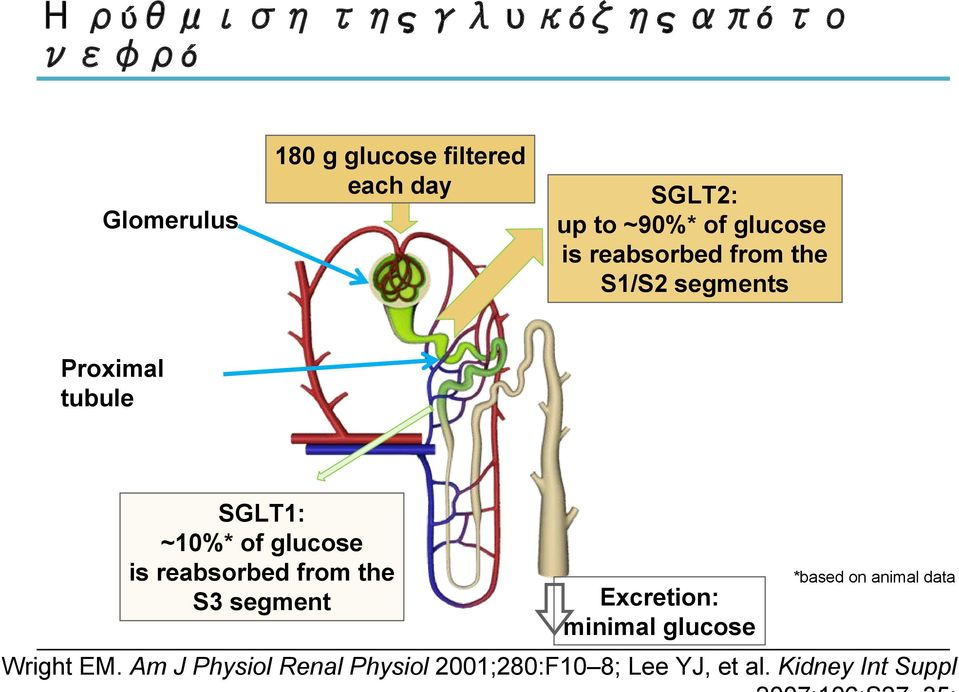glucose is reabsorbed from the S3 segment Excretion: minimal glucose *based on animal data