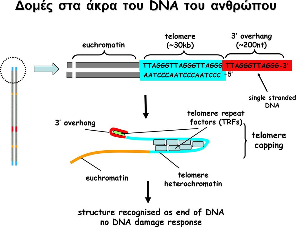 telomere repeat factors (TRFs) single stranded DNA telomere capping