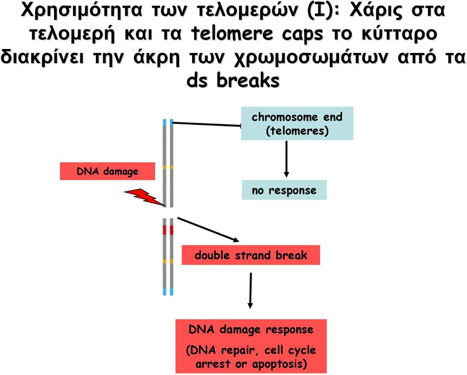 breaks chromosome end (telomeres) DNA damage no response double