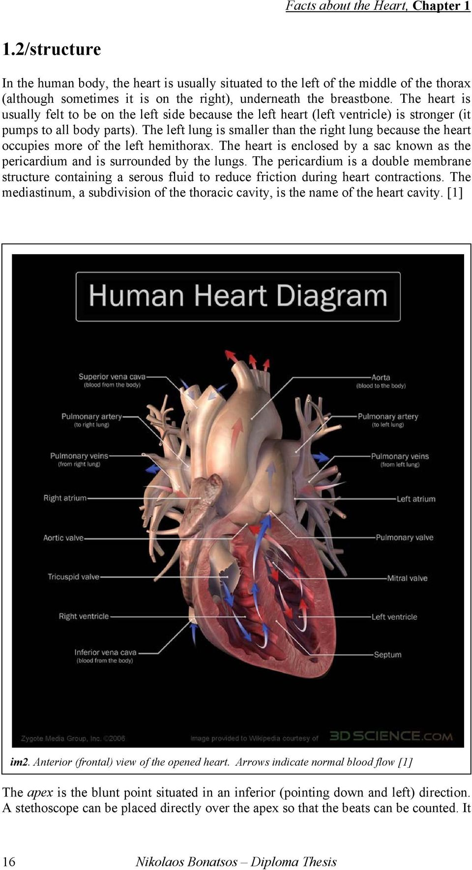 The heart is usually felt to be on the left side because the left heart (left ventricle) is stronger (it pumps to all body parts).
