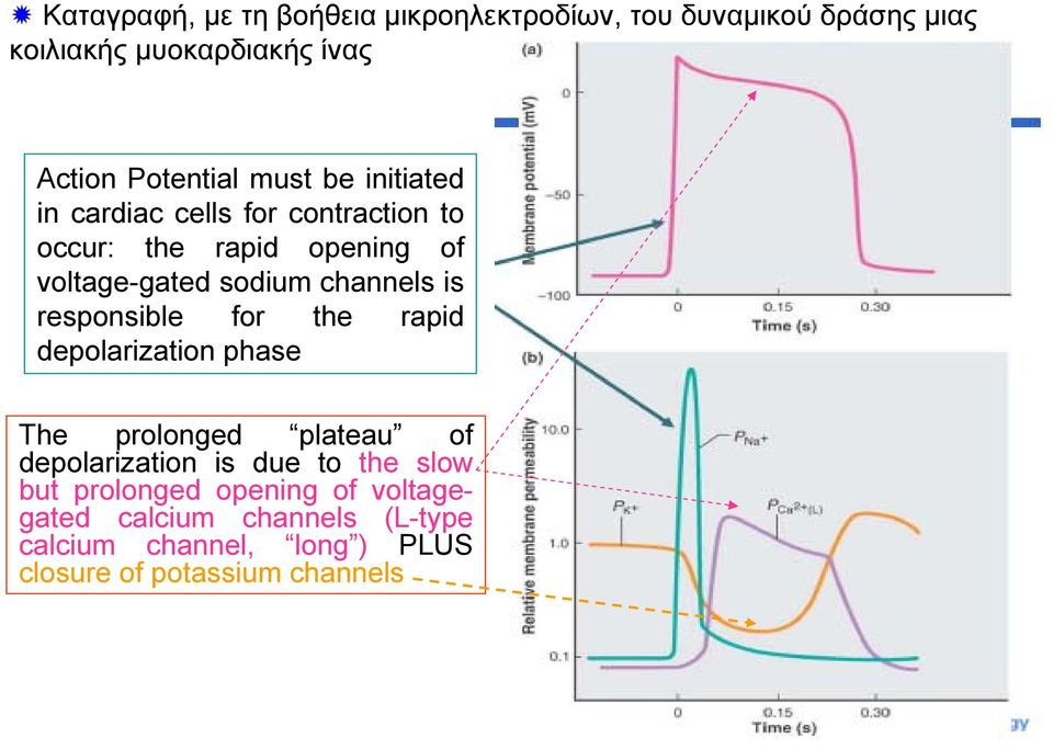 is responsible for the rapid depolarization phase The prolonged plateau of depolarization is due to the slow but