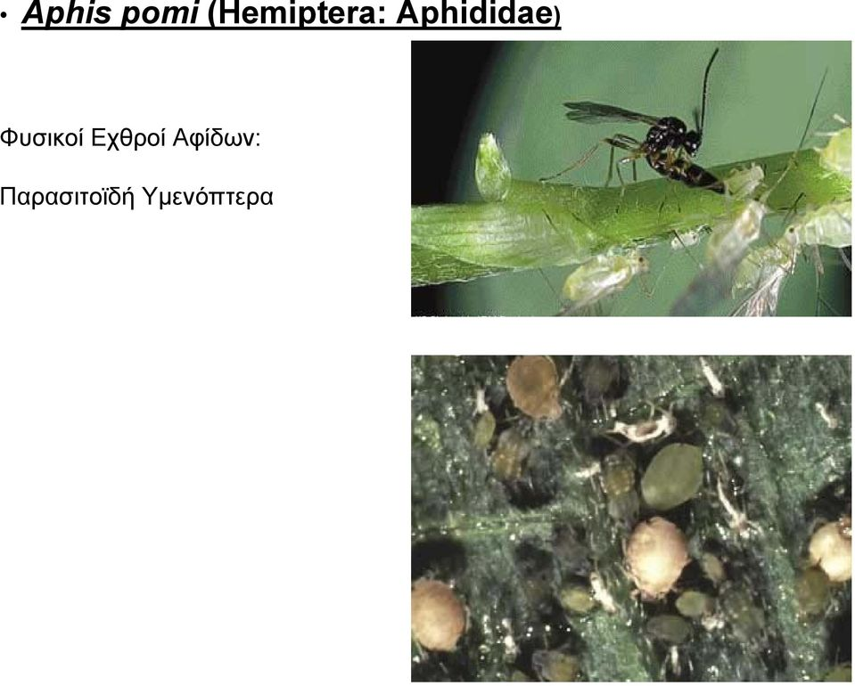 Aphididae)