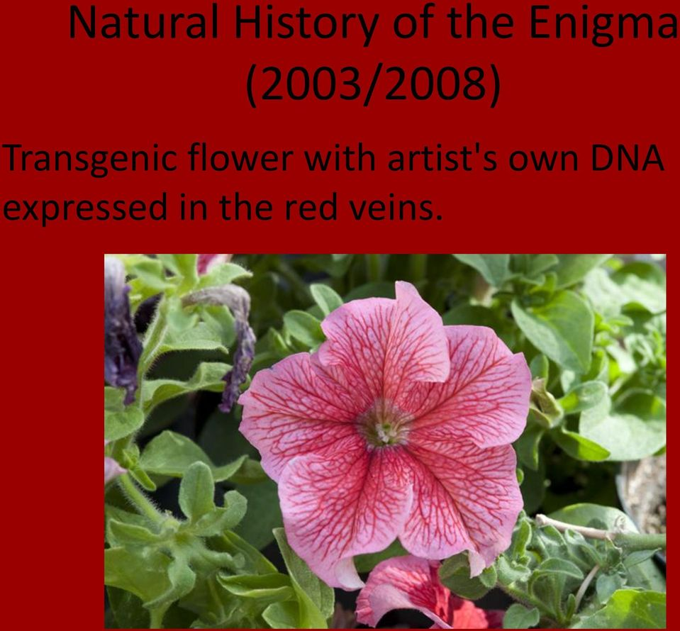 Transgenic flower with