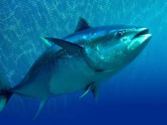 Τόνος, Thunnus thynnus (οικ. Scombridae) Bauchot, 1987 Photo by Miro Mirkovic, www.fishbase.