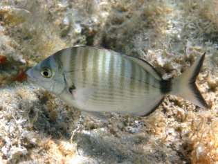 Μυτάκι, Diplodus puntazzo (οικ. Sparidae) Schneider, 1990 Photo by Roberto Pillon, www.fishbase.