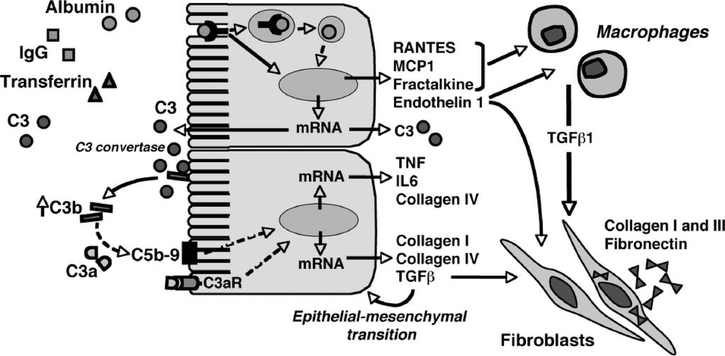 Mechanisms underlying the activation of inflammatory and fibrogenic pathways in proximal tubular epithelial