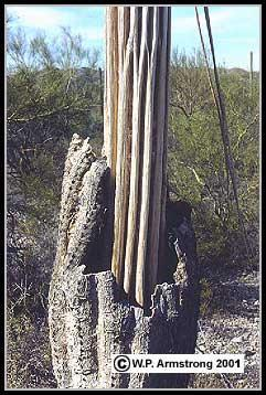 gigantea) in northern Sonora, Mexico