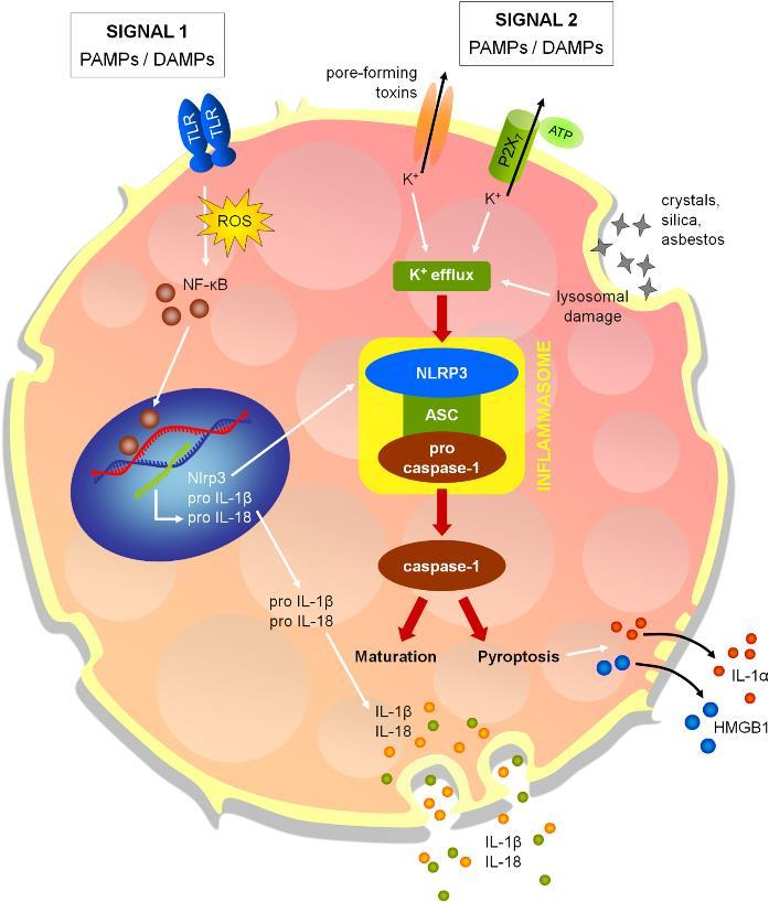 From: Inflammasomes in Respiratory Disease: From Bench to
