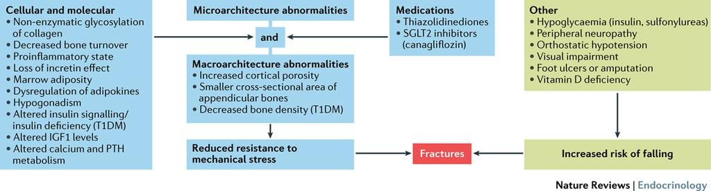 Mechanisms underlying bone loss and fractures in type 2diabetes mellitus Napoli, N. et al.