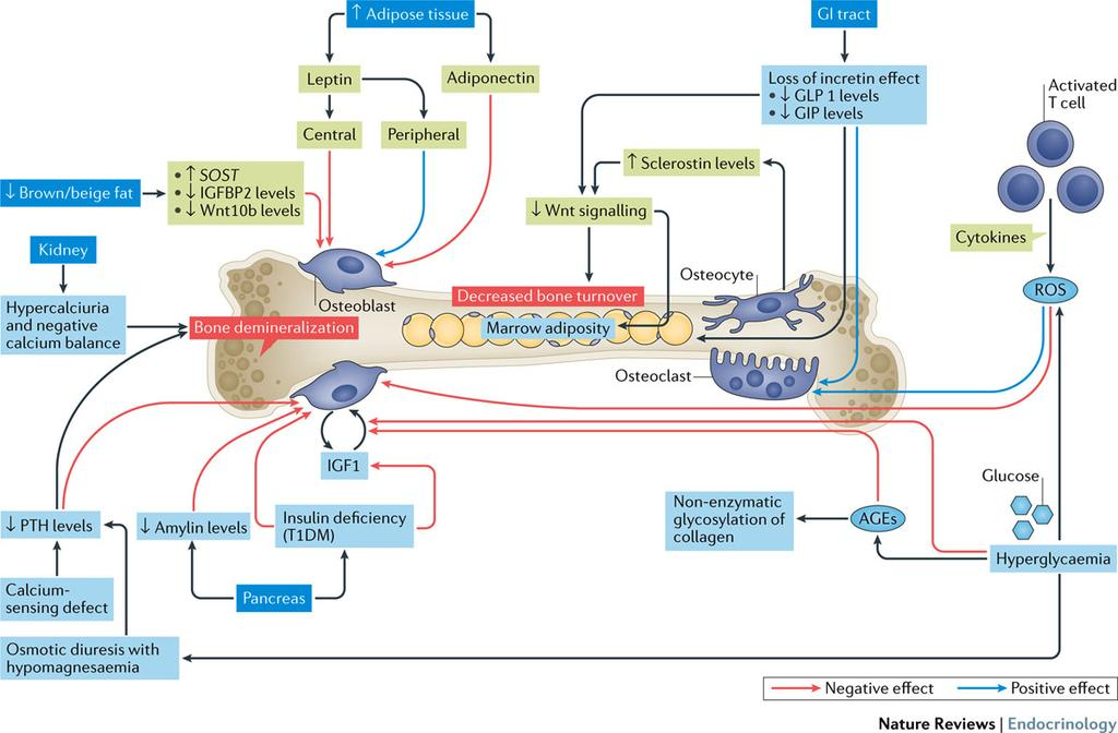 Cellular and molecular mechanisms of bone diseases in diabetes mellitus Napoli, N. et al.