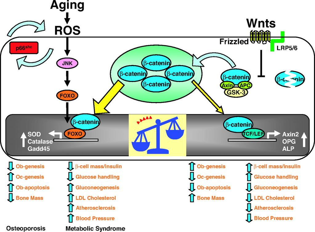 The Increase of ROS with Age Antagonizes the Skeletal and Metabolic Effects of Wnt/ß-Catenin by Diverting